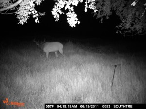 The first trail camera pic we got in KS.  We actually just picked a random tree in the middle of the night during a rainstorm and stuck it on overnight to see how the camera would work.  This is what we found the next morning.