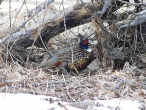 Pheasant in hiding.