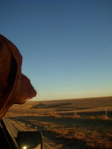 Remi's first KS pheasant hunt. Photo credit: Michelle Haines