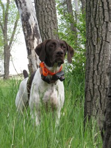 G.S.P.'s are some of the most regal bird dogs. Photo credit: Michelle Haines